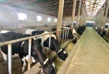 تصویر روزانه بیش از سی و پنج هزار لیتر شیر در بلخ بسته بندی میشود